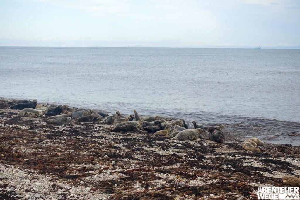 Die Robben von Portgordon