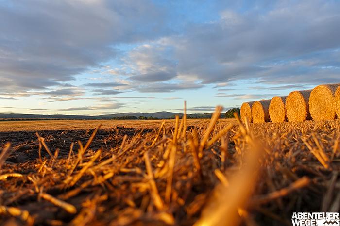 Sonnenaufgang über den goldgelben Feldern der Speyside