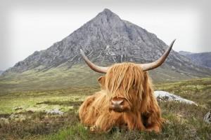 Highland Cow2