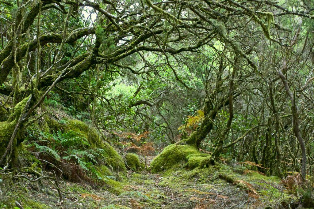 Der tropisch anmutende Nebelwald im Garagonay Nationalpark