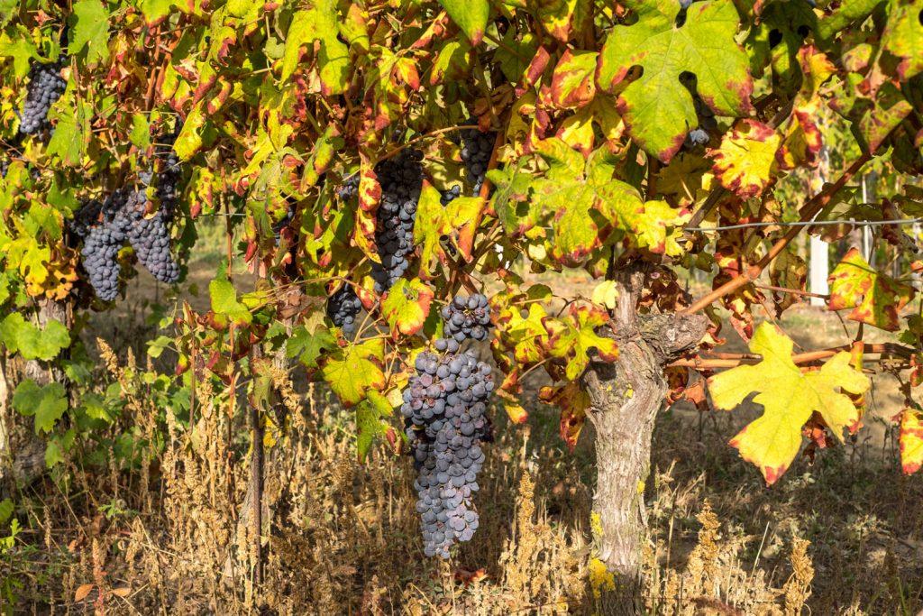 Wanderung der Woche: Piemont - Wandern & Wein