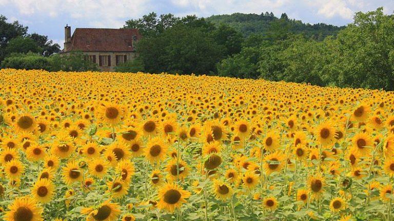 Sonnenblumen in der Dordogne, Frankreich