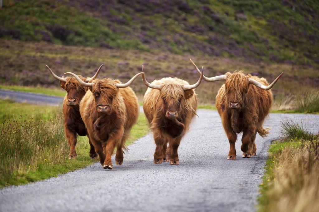 Schottisches Hochlandrind, Highland Cattle.